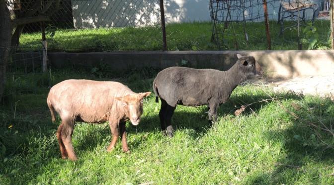 Unsere beiden Schafe
