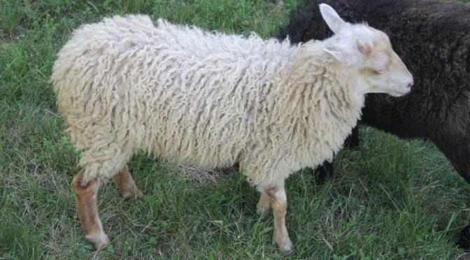 Unsere Schafe sind wieder da